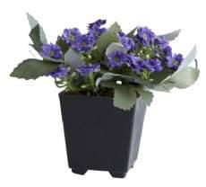 salg af Blomst, lilla